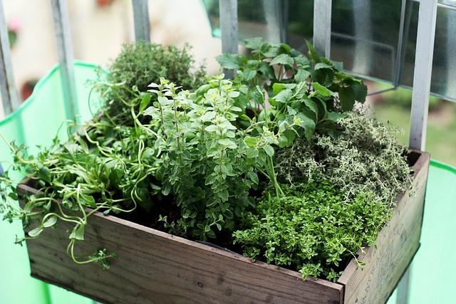 Piante aromatiche in balcone nell'orto di maggio
