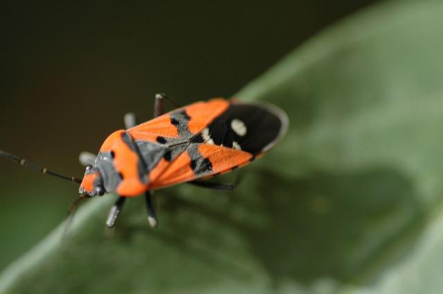 cimice del cavolo, insetto molto pericoloso