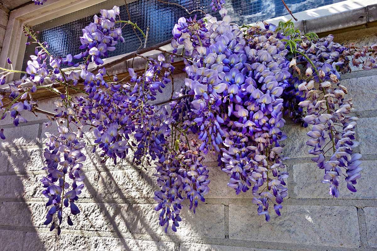 Fiori Perenni Da Balcone piante rampicanti: tutto ciò che c'è da sapere sui rampicanti